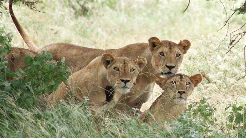 Lion tracking in Queen Elizabeth NP
