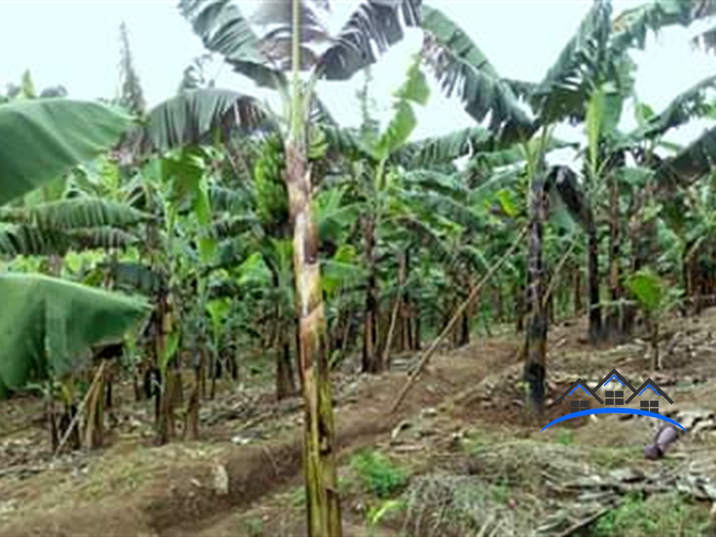 Agricultural Land for sale in Butunduzi Kyenjojo