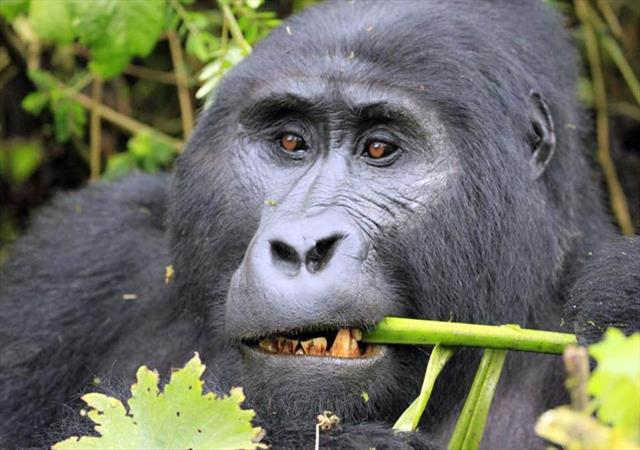 4 Days 3 Nights Gorilla Trip In Uganda